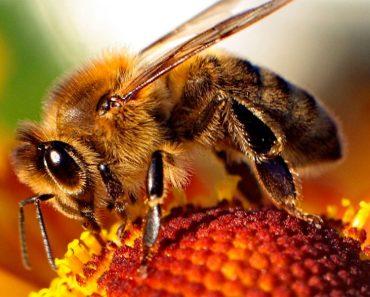 ¡Gran descubrimiento! El veneno de la abeja destruye el virus de inmunodeficiencia humana (VIH / SIDA)