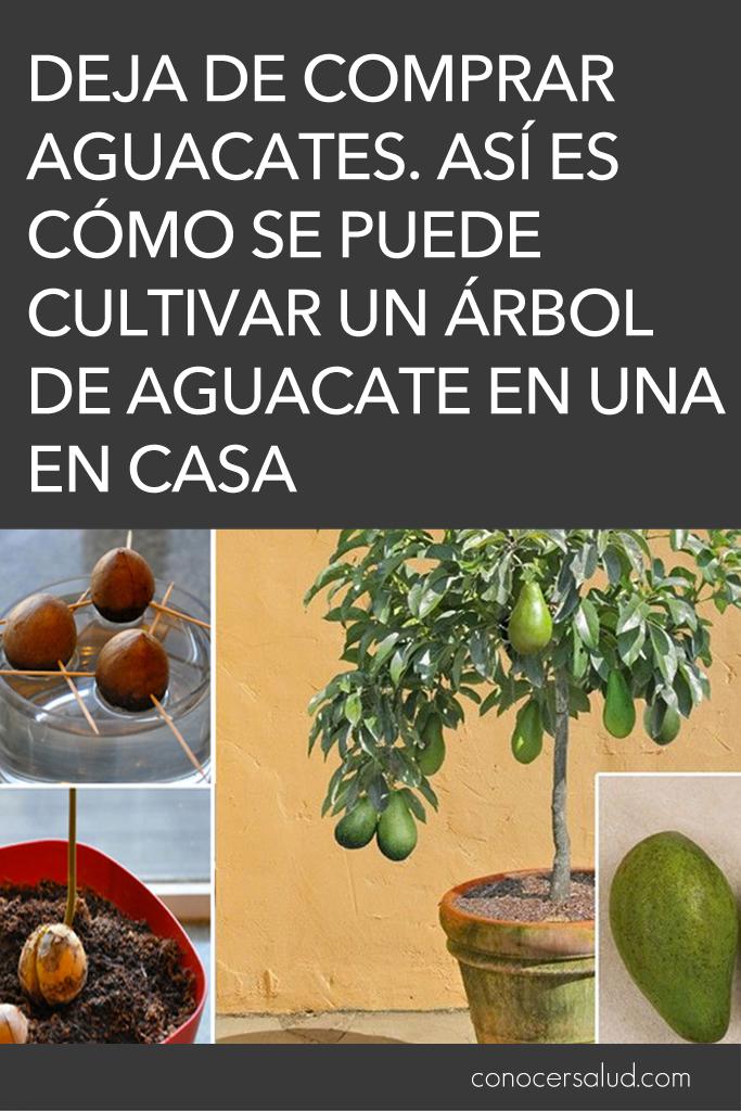 Deja de comprar aguacates. Así es cómo se puede cultivar un árbol de aguacate en una maceta pequeña en casa