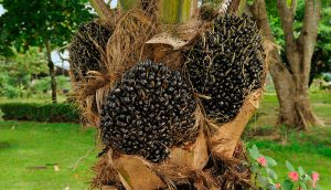 Las razones por las que el aceite de palma es tan controvertido